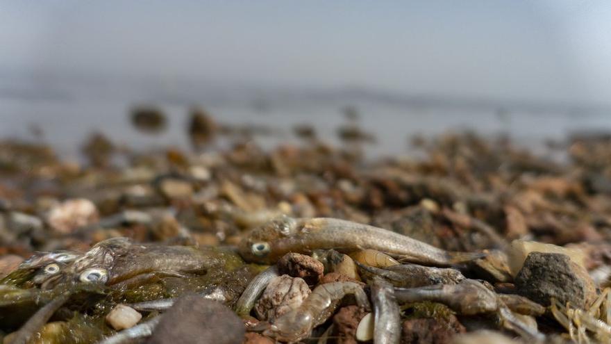Miles de peces muertos en el Mar Menor vuelven a disparar las alertas