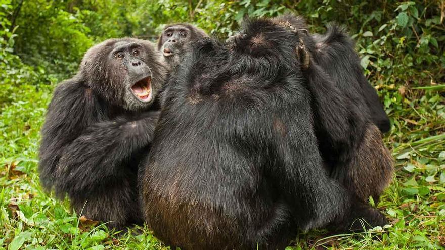 Los chimpancés prefieren envejecer solos o con buenos amigos