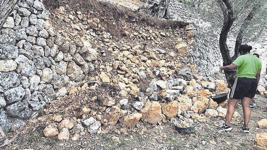 Los 'escoltes' trabajan en la recuperación de bancales en un olivar de Sóller