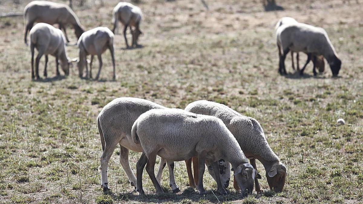 Un ramat de xais i ovelles pasturant per Llagostera. | ANIOL RESCLOSA