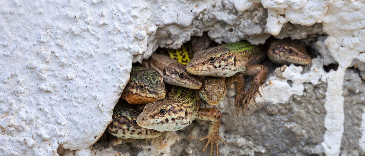 Un grupo de lagartijas, en el agujero de una pared en Ibiza, en una imagen de archivo.