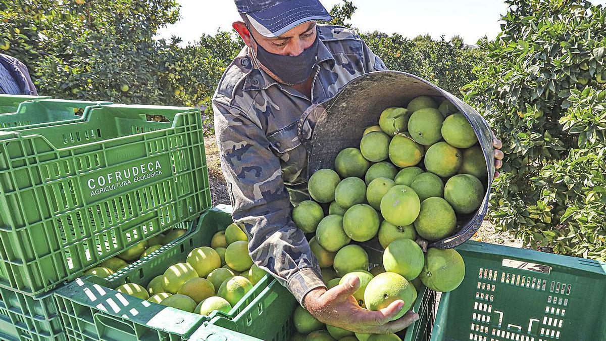Un jornalero durante la cosecha en un campo de cítricos.