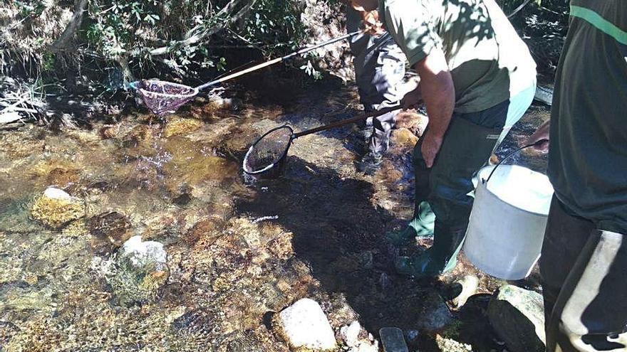 Los pescadores constatan la recuperación de la anguila en la cuenca del Esva