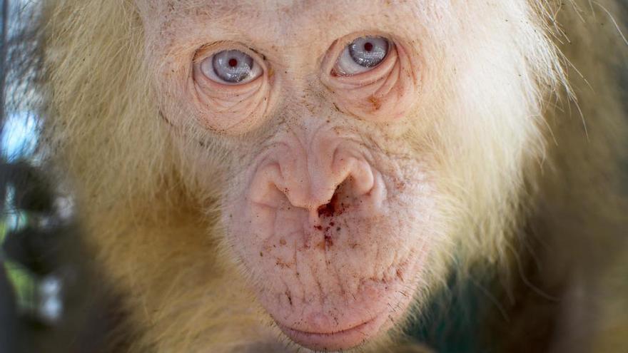 Rescatan a una orangután albina única en Borneo