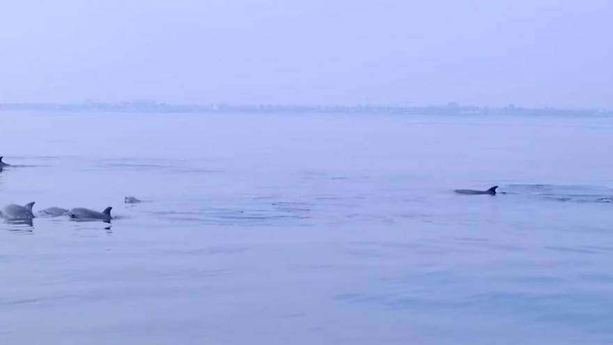 Avistan una decena de delfines en la costa de Orihuela