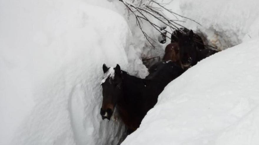 Así fue el espectacular rescate a cuatro caballos atrapados en la nieve: 'Están al límite'