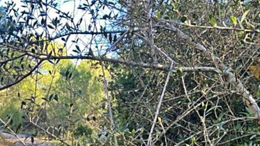 Els pagesos gironins adverteixen que la població de senglars està «desbocada»