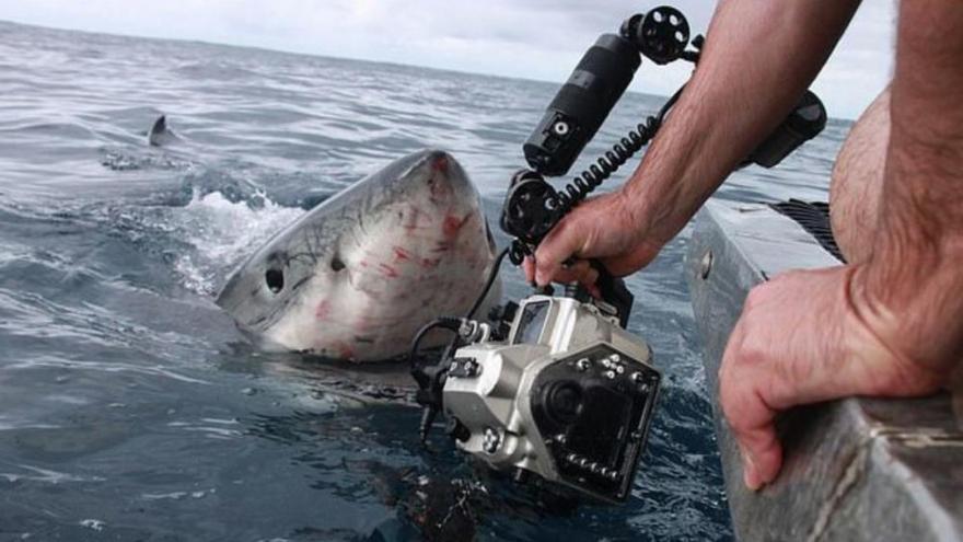 El tiburón blanco, más cerca que nunca