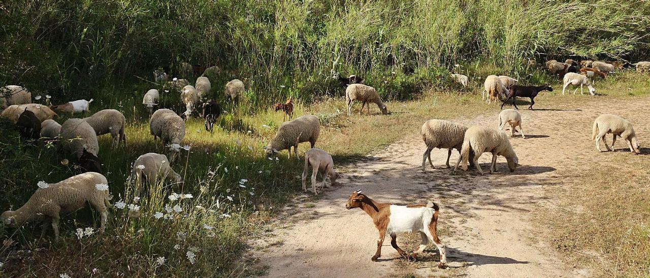 Imagen de un rebaño de ovejas y de cabras en Sant Llorenç.