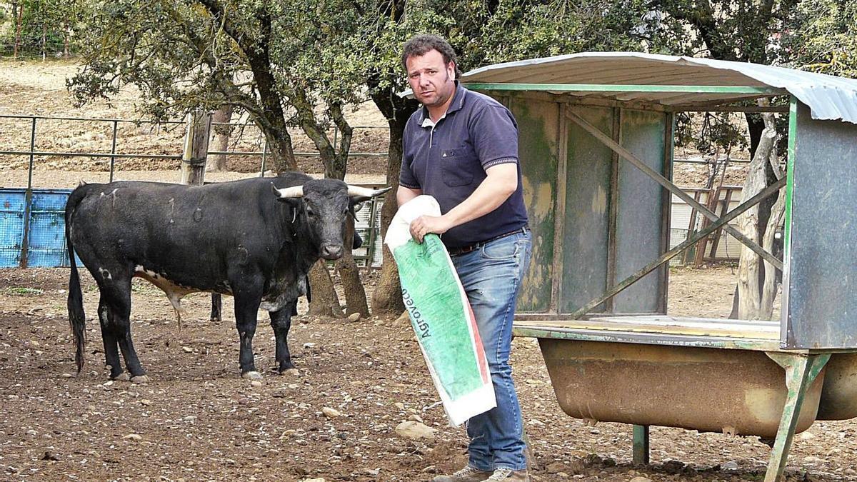 Marcuello da de comer a uno de los toros que tiene en su finca.  | KAKEL