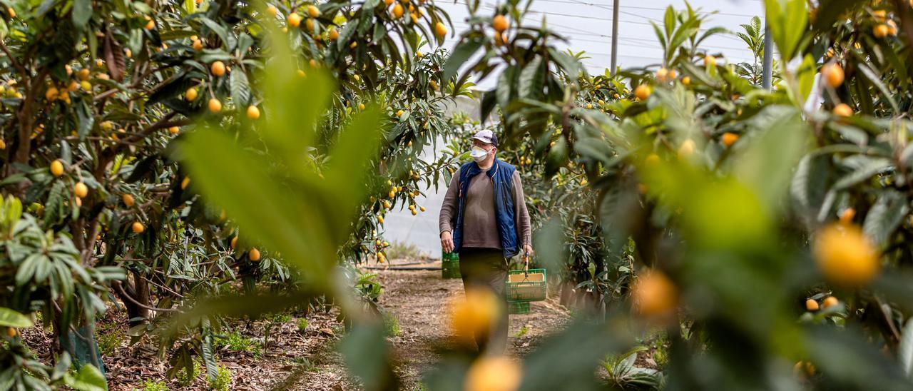 Un agricultor observa sus plantaciones de nísperos en Callosa d`Ensarriá