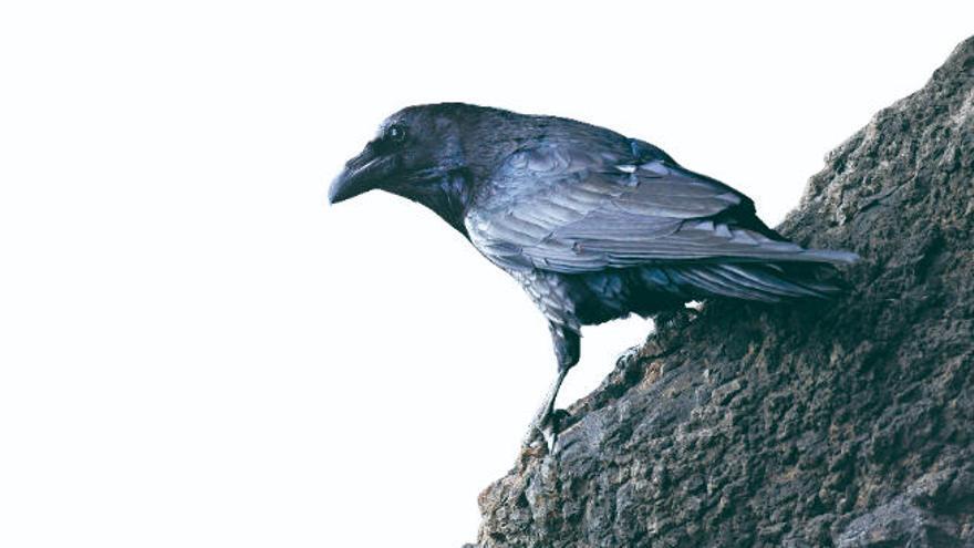 El resurgir de los cuervos en Tenerife
