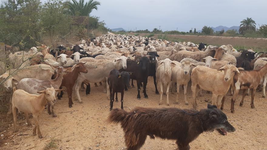 La CHS autoriza labores de pastoreo en el cauce del Segura en la Vega Baja