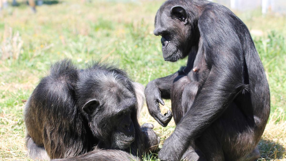 Dos ejemplares de chimpancé.