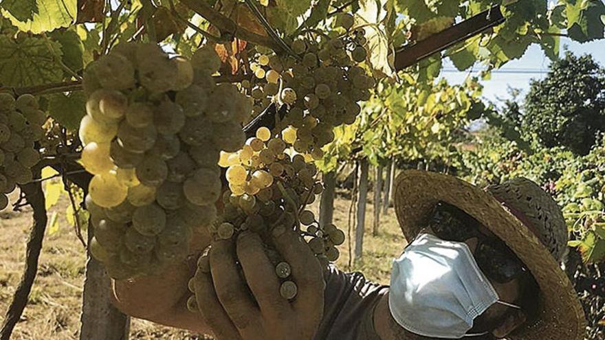 As adegas recollen un 6,4% máis de uva na vendima