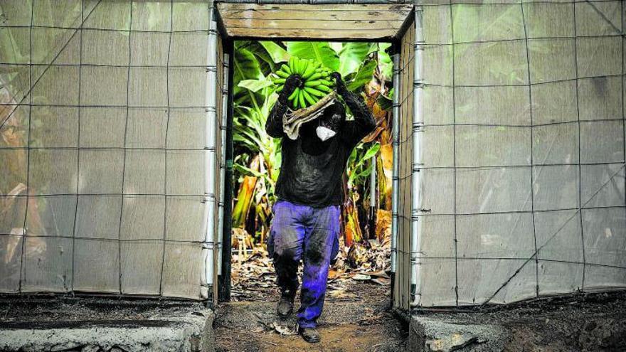 El Estado abre la mano y evalúa incluir el Posei en el cálculo del precio del plátano