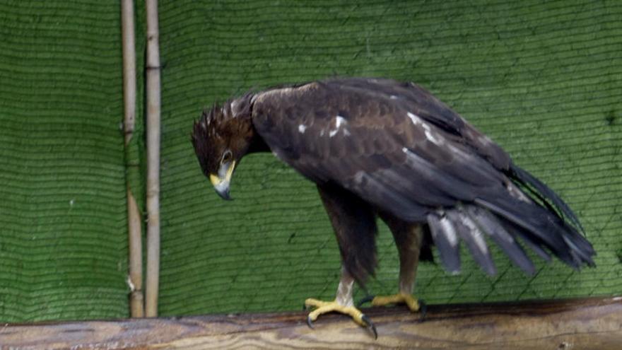 Muere un águila real en un tendido eléctrico de Camporrobles