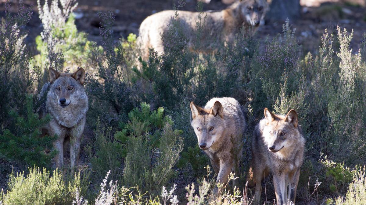 Manada de lobos.