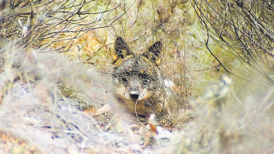 Asturias, Galicia, Cantabria y Castilla y León rechazan darle mayor protección al lobo