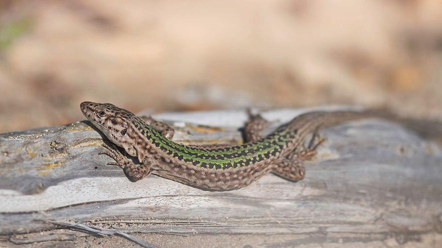 Medio Ambiente destina a Ibiza 250.000 euros para proteger la lagartija y el sapo