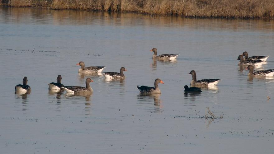 Más de 15.000 aves pueblan las Lagunas de Villafáfila