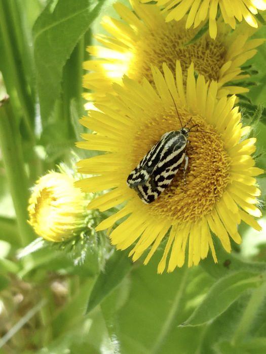 Arna. Moltes de les espècies animals anomenades «arnes» en català pertanyen a les famílies dels tinèids i piràlids. Aquesta està xuclant el nèctar de l'àrnica que es cull al Bages.