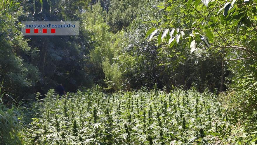 A presó un home que cuidava un cultiu de marihuana a Rabós