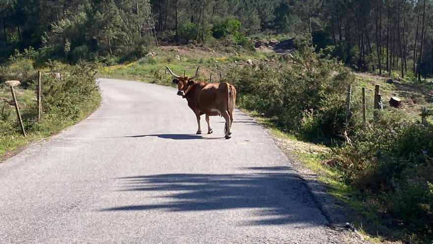 Evacuada al hospital una mujer de 43 años que recibió la coz de una vaca en Friol