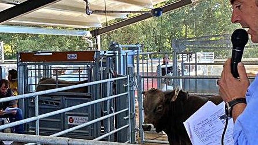 La Federació de Vaca Bruna manté el format telemàtic per a les subhastes