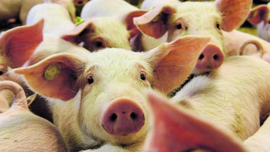 La ganadería regional alcanza su récord con 2,1 millones de cerdos en pleno debate ambiental