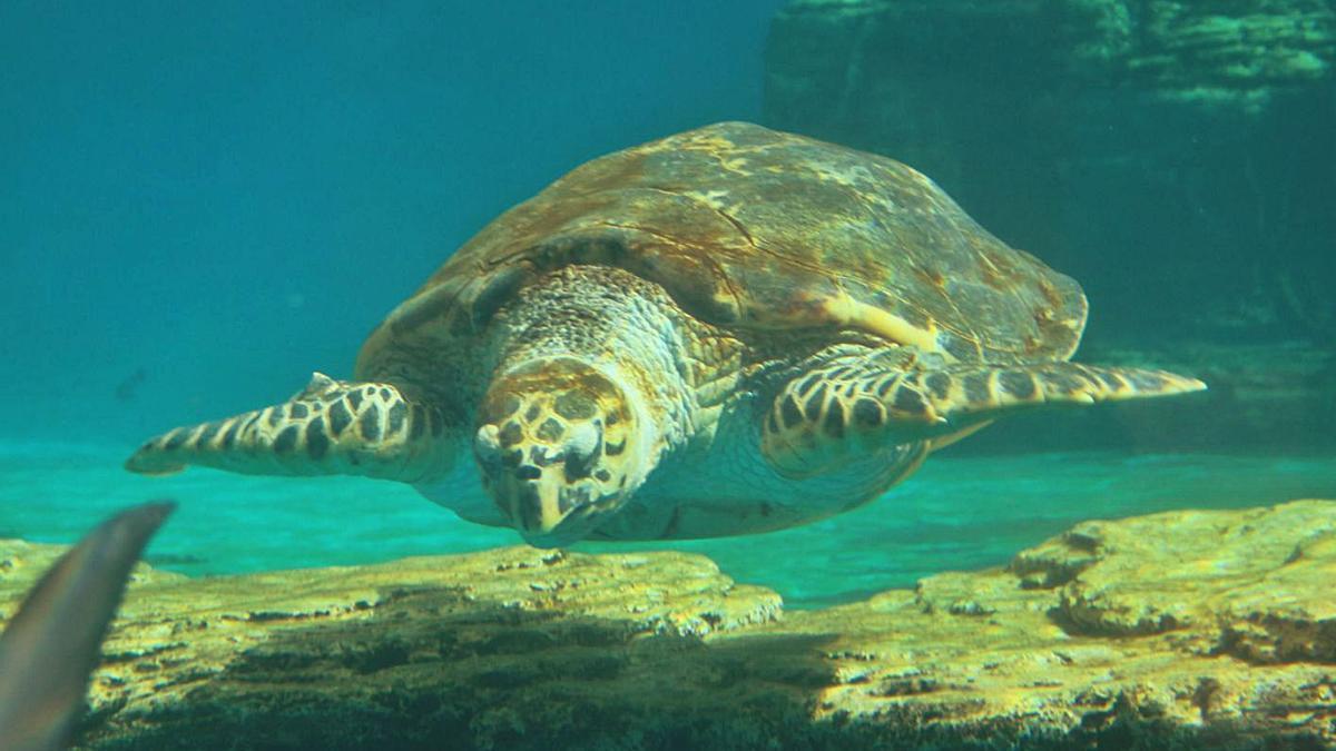 Una tortuga marina en las instalaciones del Palma Aquarium.