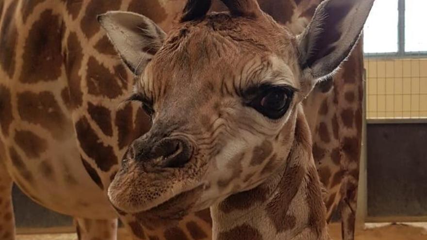 Neix una nova girafa al Zoo de Barcelona
