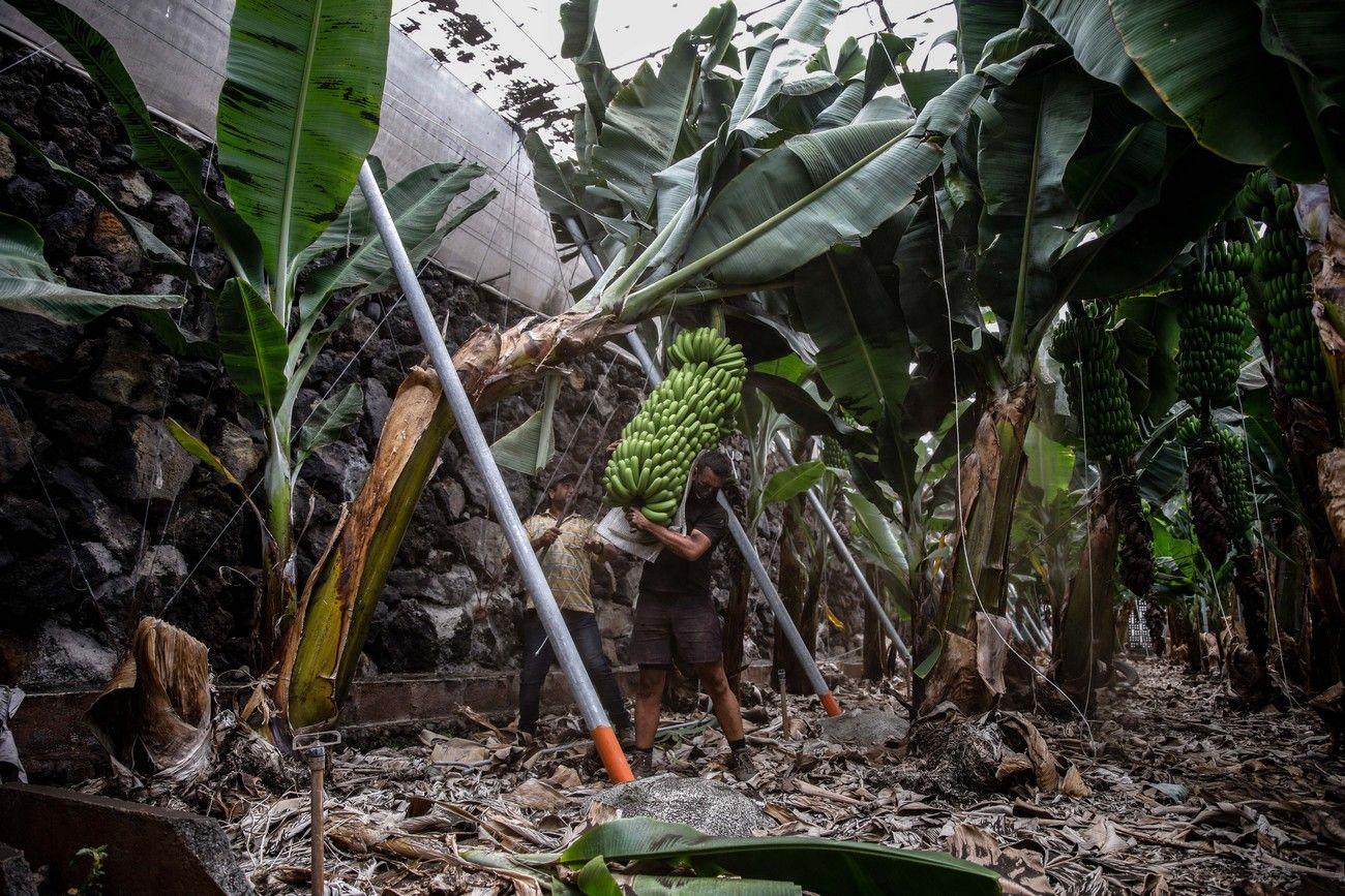 Agricultores recogen los plátanos de sus fincas llenas de ceniza del volcán en erupción en La Palma