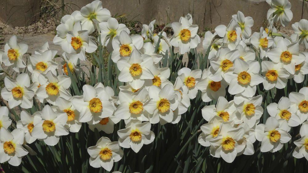 Narcisos. Florida espectacular que dona color a la primavera. Els narcisos són plantes amb bulb i tenen la flor amb una corona central en forma de trompeta envoltada per un anell de pètals. El narcís és la flor nacional del País de Gal·les