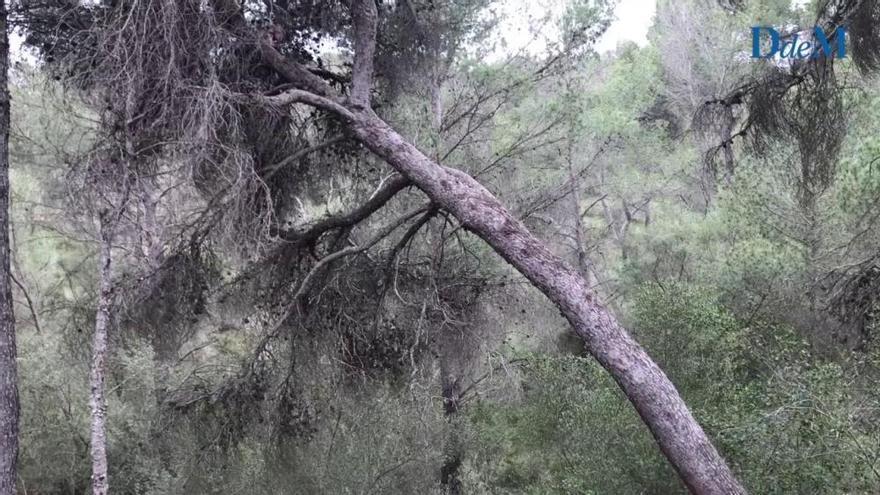 Umweltschützer kritisieren Kahlschlag im Bellver-Wald