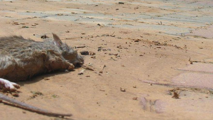 El PP exige al gobierno de Castellón que acabe con las ratas