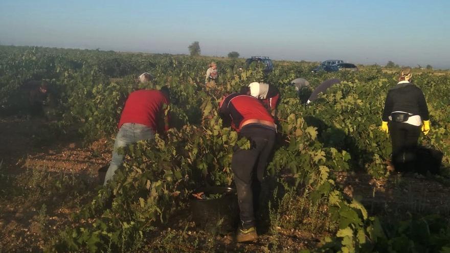 Viticultores de la DO Toro, preocupados por la escasez de jornaleros para la vendimia