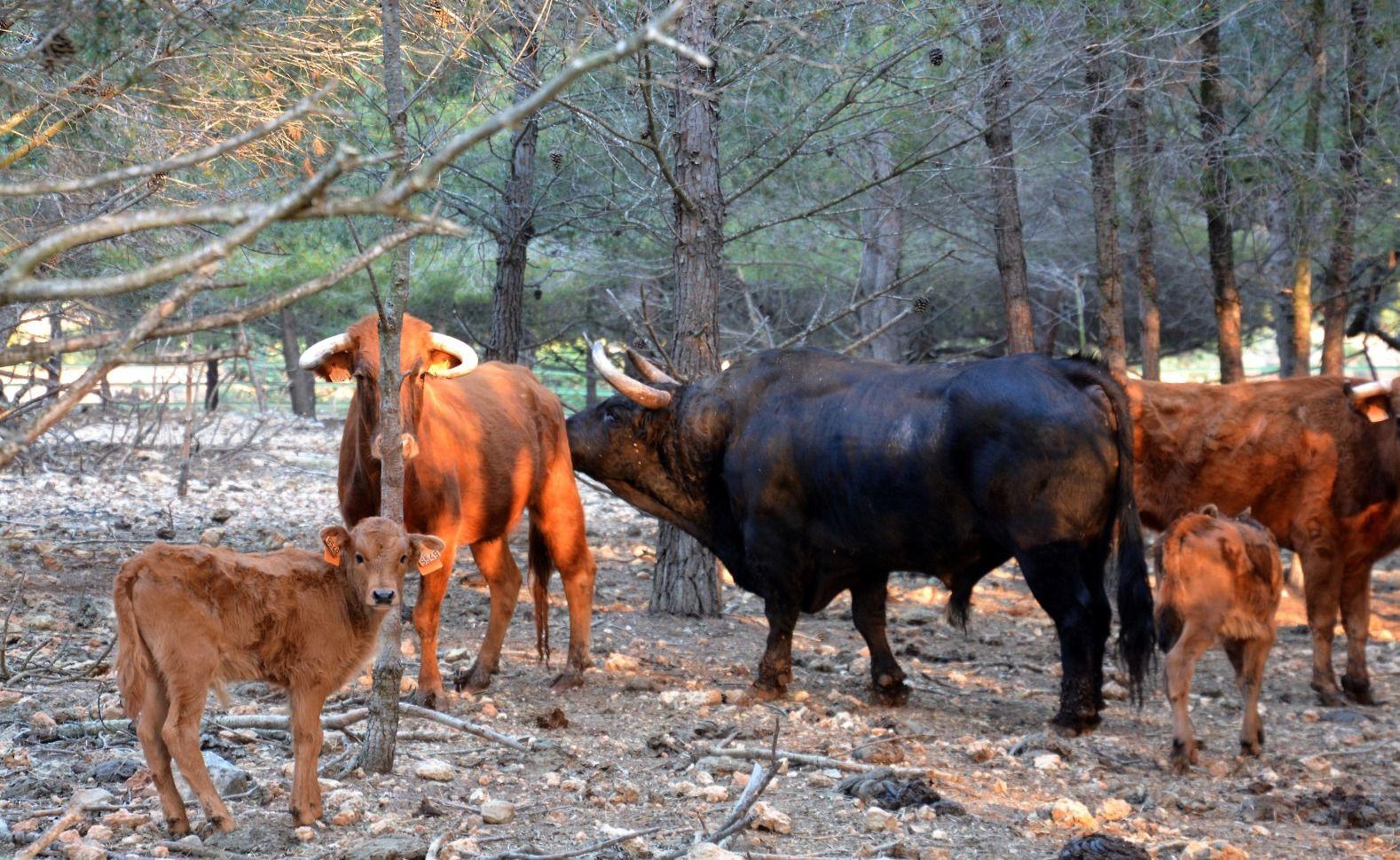 Naturaleza y plenitud: así viven los toros de la ganadería de Daniel Ramos