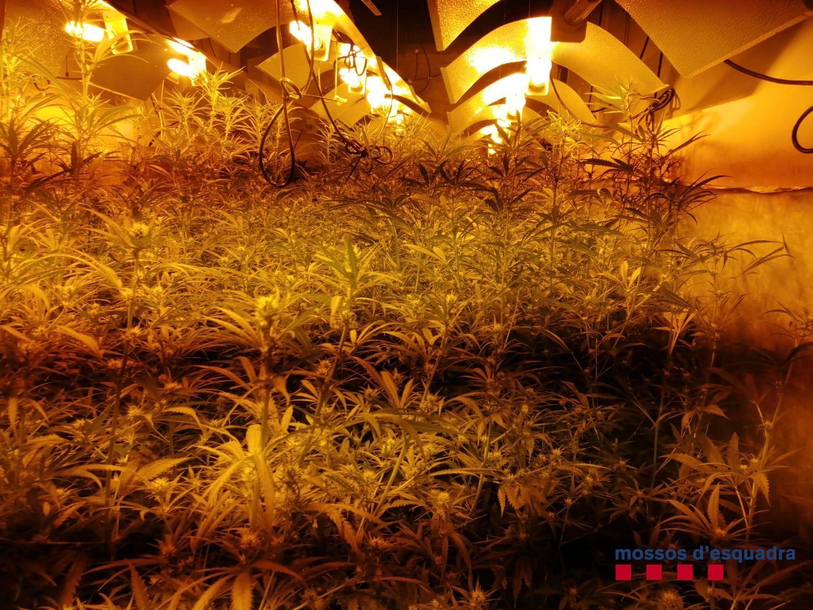 Descobreixen una plantació de marihuana en un magatzem agrícola de Mont-ras