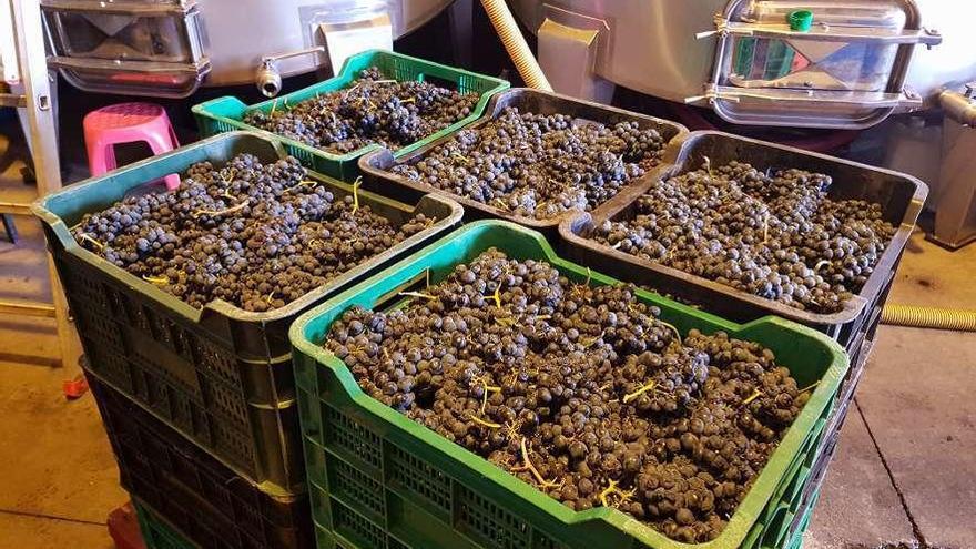 La DO Tierra del Vino de Zamora vendimia más de 700.000 kilos de uva