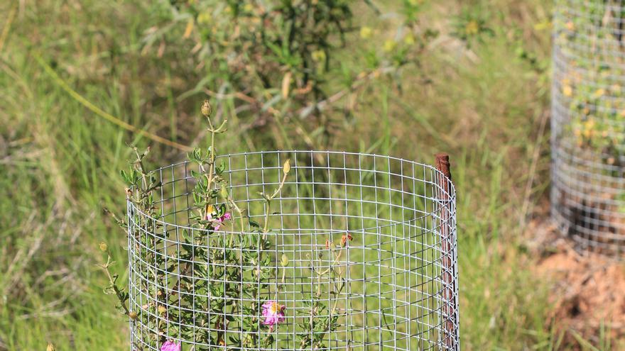 Serra recupera la Jara de Cartagena, una flor autóctona en peligro de extinción