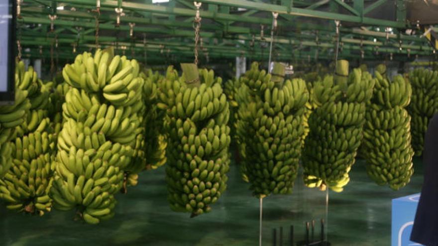 Canarias teme que la banana hunda los precios del plátano en Europa