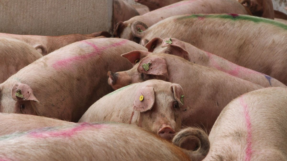 Granja de cerdos en Zamora