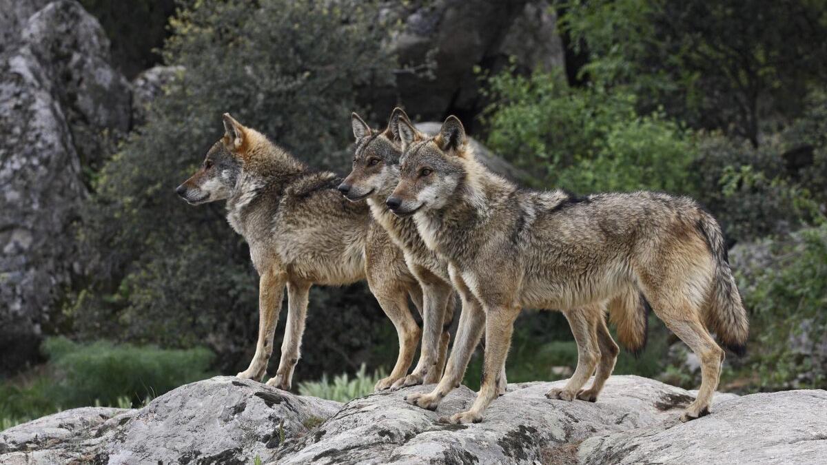 ¿Es posible la convivencia pacífica entre el ser humano y el lobo?