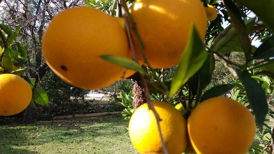 El Govern inicia el cambio de titularidad de la naranja 'canoneta'