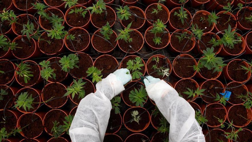 Cierran en Manuel Llaneza un club de cannabis y requisan la mercancía