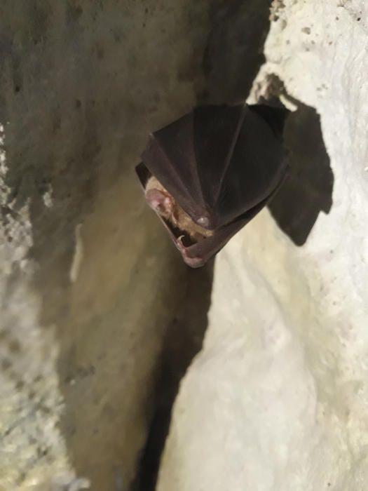 Ratpenat. Els ratpenats o voliacs són un ordre de mamífers. Amb aproximadament 1.100 espècies, representen més o menys el 20% de totes les espècies de mamífers. Aquest va ser trobat a l'espluga de Valldevilaramo.