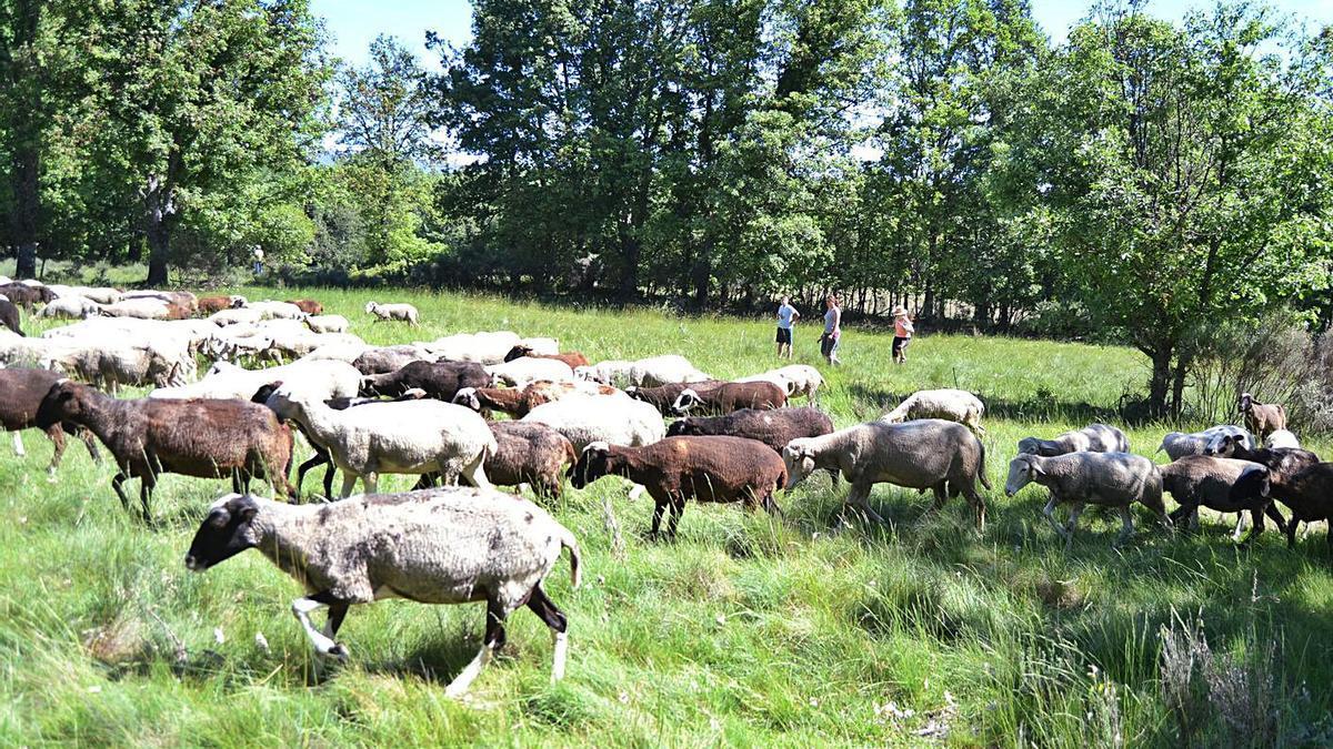 Un rebaño de ovejas transita por la zona donde se proyecta el parque solar en Santa Colomba de Sanabria. | A. S.
