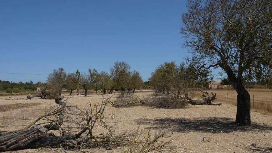 28 Millionen Euro aus EU-Fonds zur Rettung der Mandelbäume