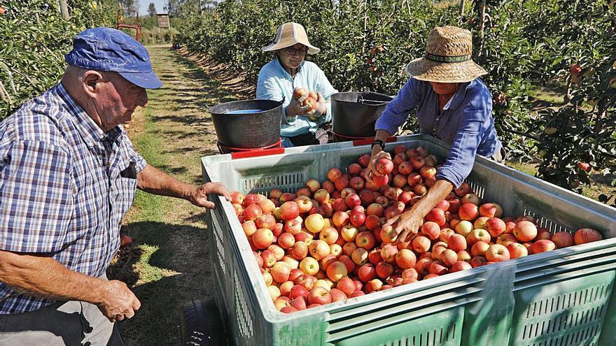 Puja un 16% la previsió de collita de poma a Girona